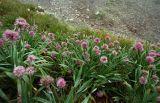 Allium platyspathum
