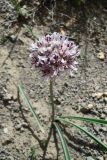 Allium leonidii