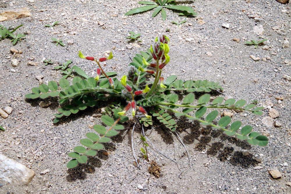 Изображение растения Astragalus massalskyi.