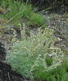 Artemisia caucasica