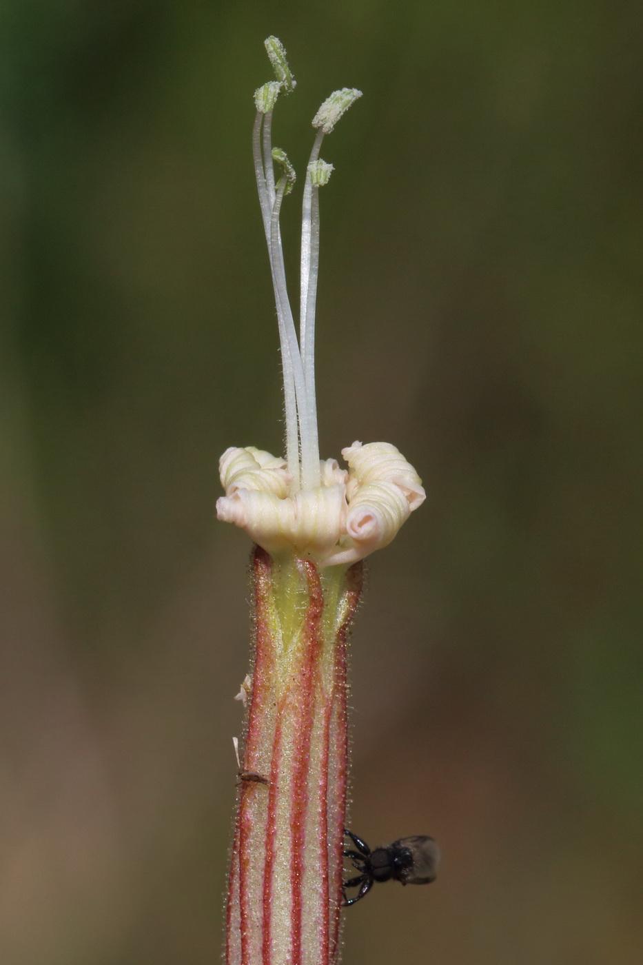 Смолёвка клейкая (Silene viscosa)