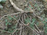 Scutellaria