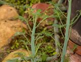 Kleinia articulata