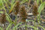 Carex macrocephala