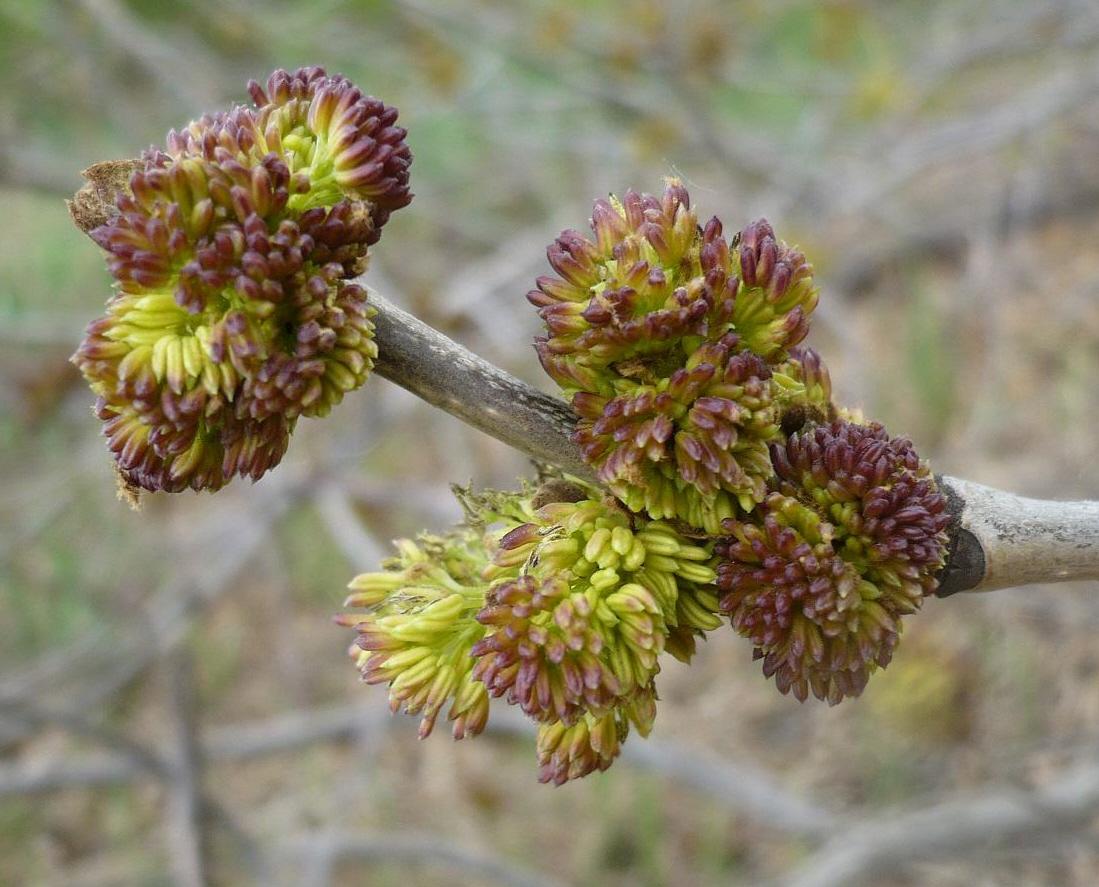 Расцветающие соцветия новосибирская