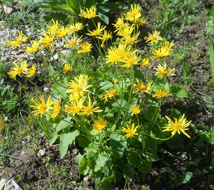 Изображение растения Doronicum carpaticum.