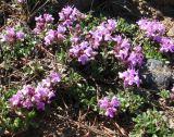 Thymus paucifolius