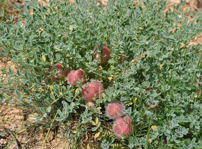 Изображение растения Astragalus biebersteinii.