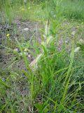Carex rhynchophysa