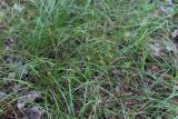 Carex supina