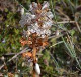 Orobanche crenata var. callieri