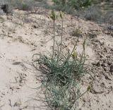 Gynandriris maricoides