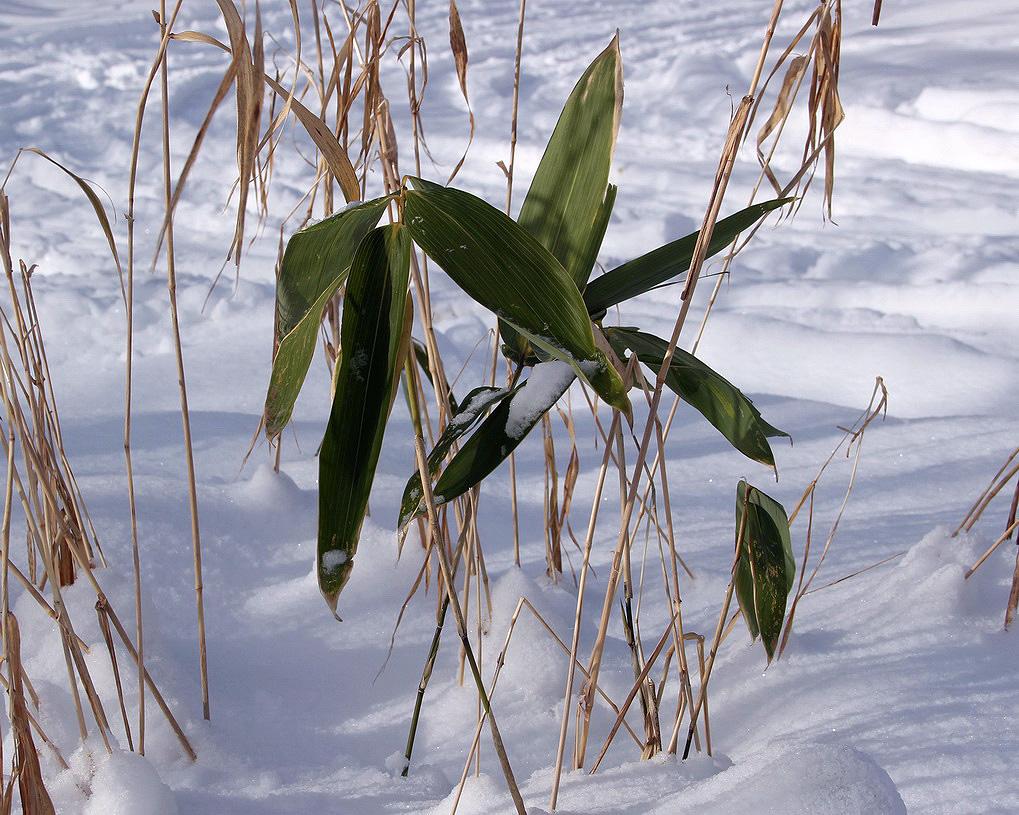 http://www.plantarium.ru/dat/plants/1/157/171157_9fb824b9.jpg