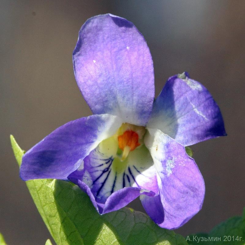 Фиалка приятная (Viola suavis)