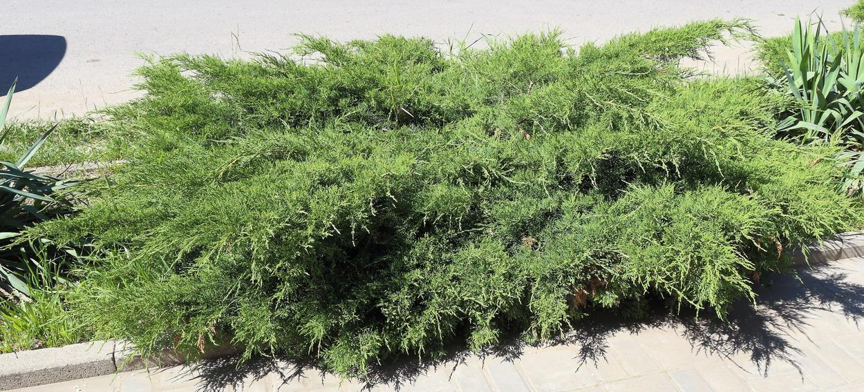 Можжевельник Пфицера (Juniperus × pfitzeriana)
