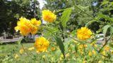 Kerria japonica var. pleniflora