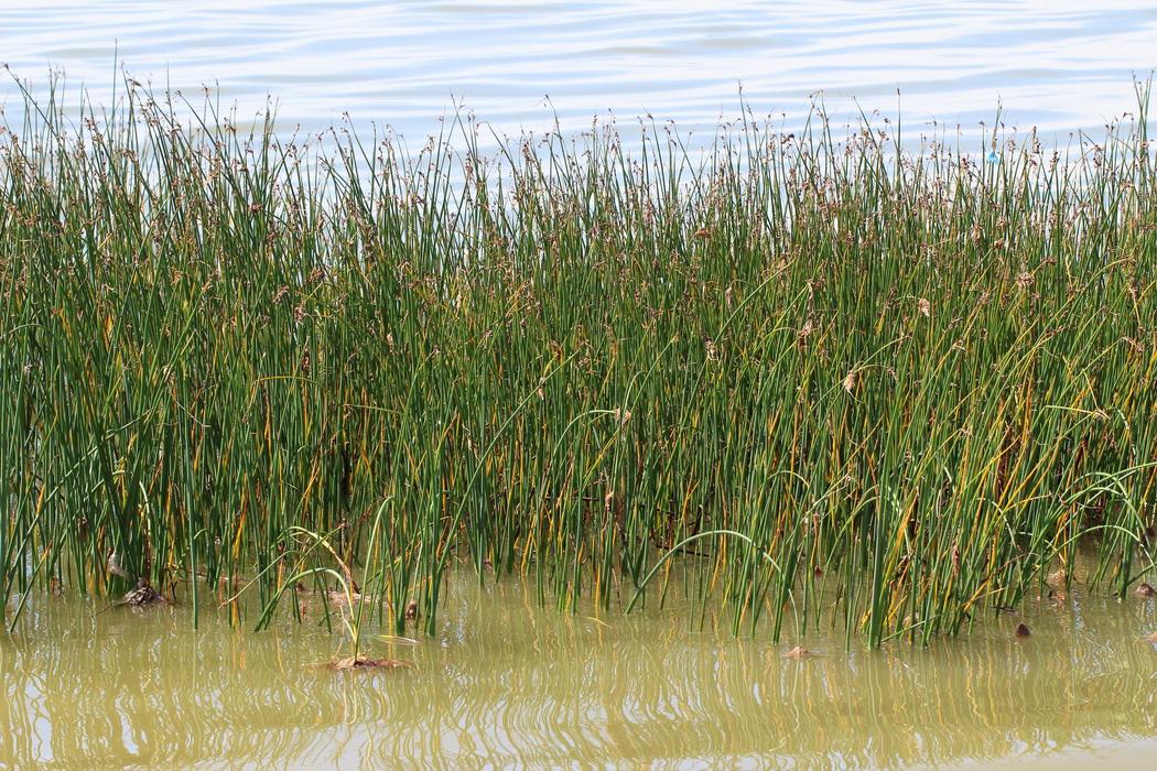 Камыш Табернемонтана (Scirpus tabernaemontani)