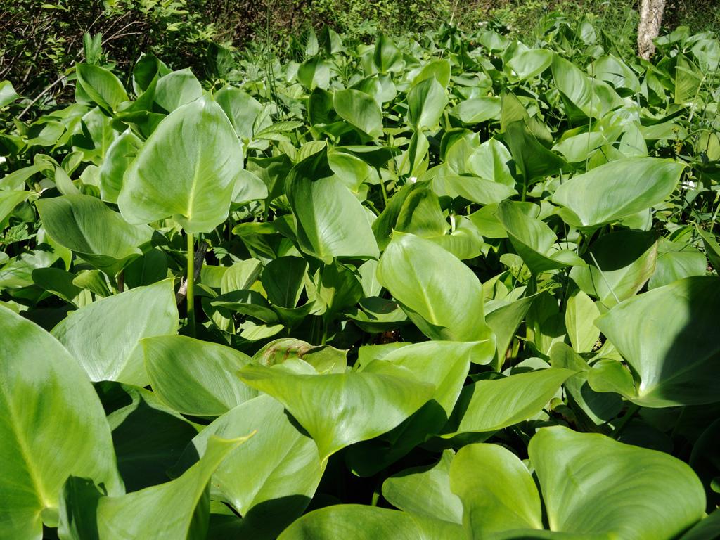 Белокрыльник болотный выращивание в пруду 21