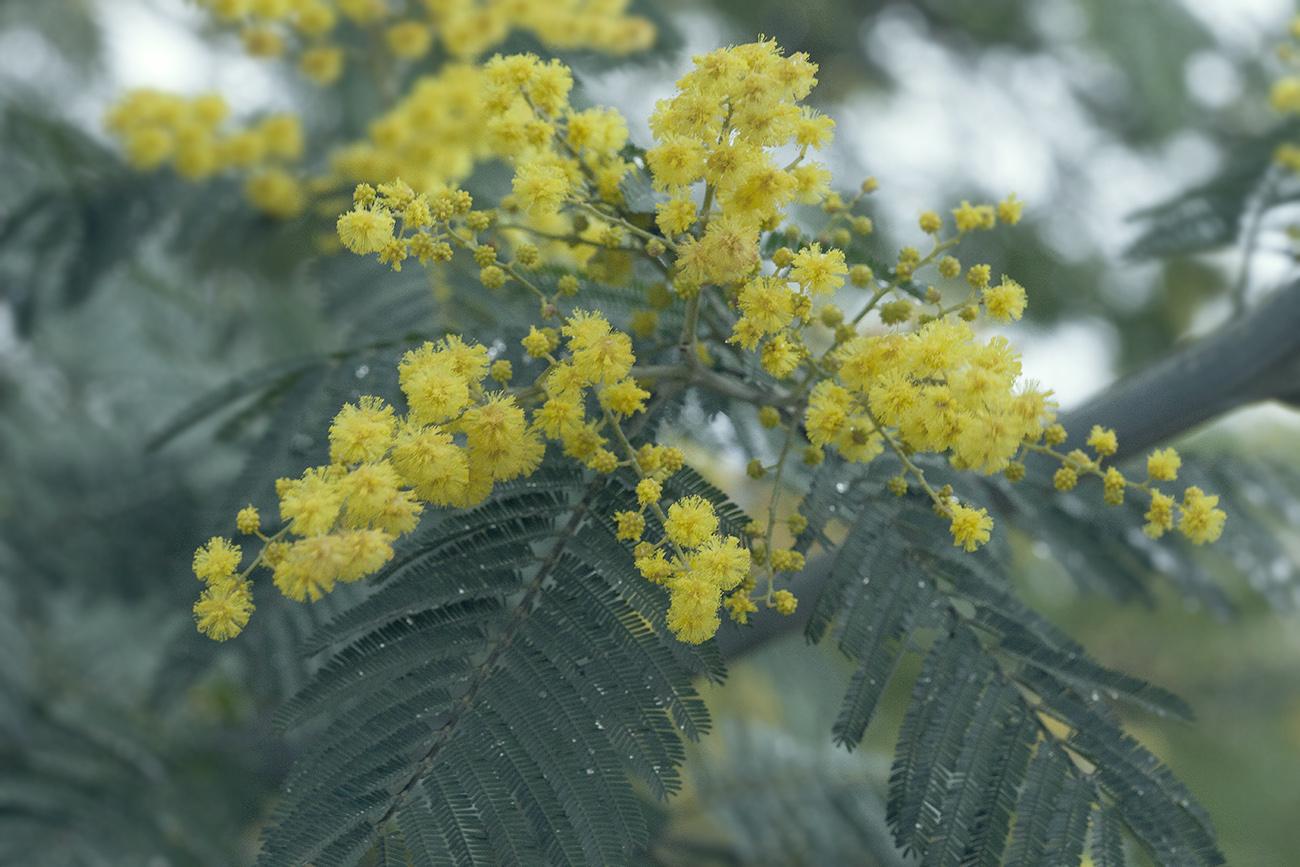 Изображение растения Acacia dealbata.