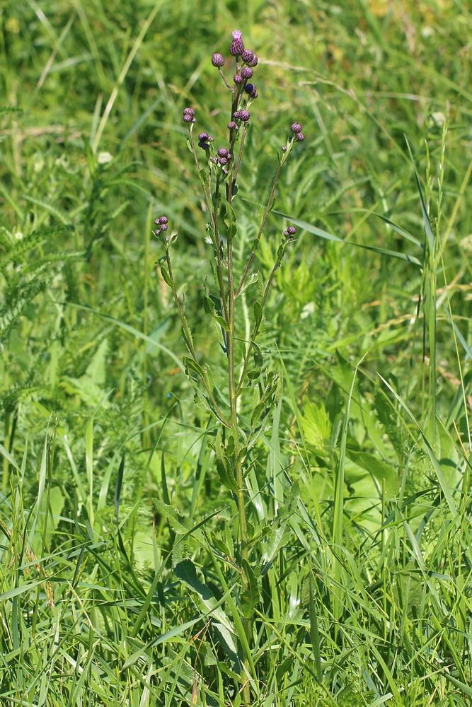 Бодяк щетинистый (Cirsium setosum)