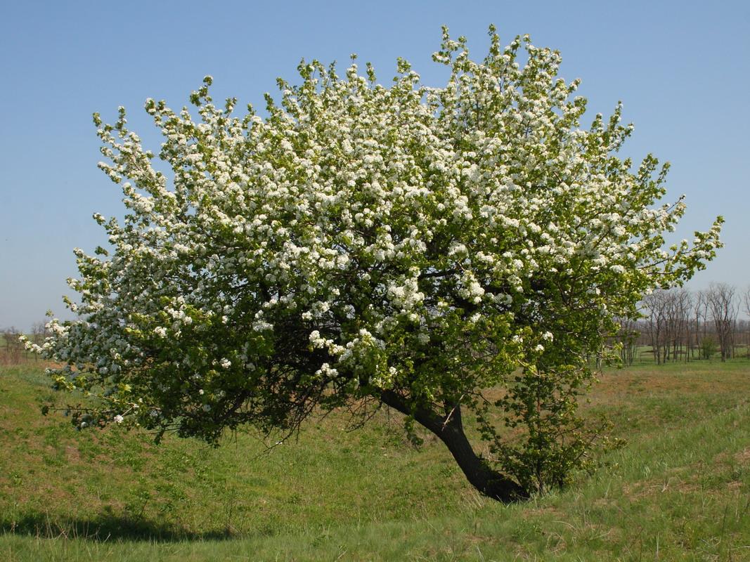 Груша обыкновенная (Pyrus communis)
