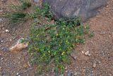 Zygophyllum pinnatum