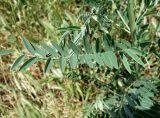 Pseudosophora alopecuroides