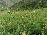 Astragalus falcatus