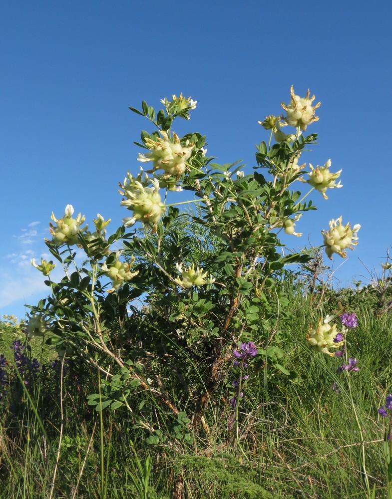 Изображение растения Astragalus xanthotrichos.