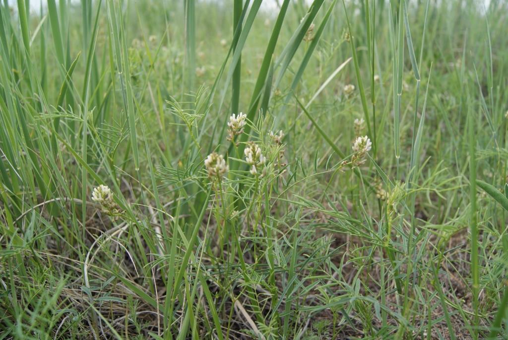 Изображение растения Astragalus rytidocarpus.