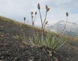Plantago saxatilis