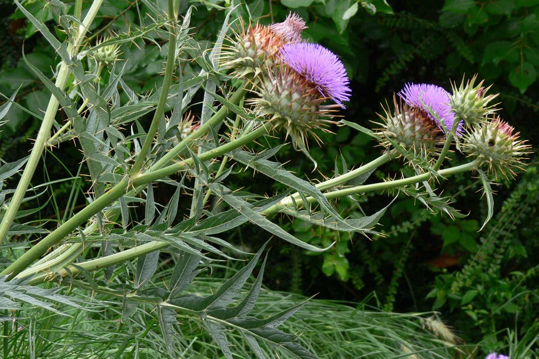 Растение артишок фото
