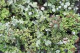 Cladonia gracilis ssp. turbinata