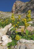 Solidago virgaurea ssp. caucasica