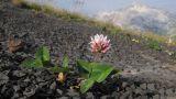 Trifolium ambiguum