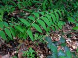 Polygonatum orientale