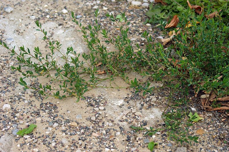 http://www.plantarium.ru/dat/plants/1/176/36176_d9bebc25.jpg