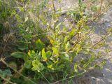 Gypsophila perfoliata