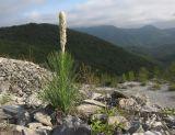 http://www.plantarium.ru/dat/plants/1/178/410178.jpg