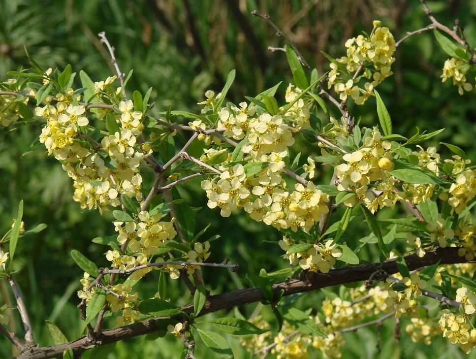Принсепия китайская выращивание из семян 74