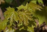 Acer platanoides