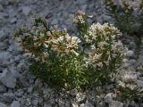 Asperula cretacea