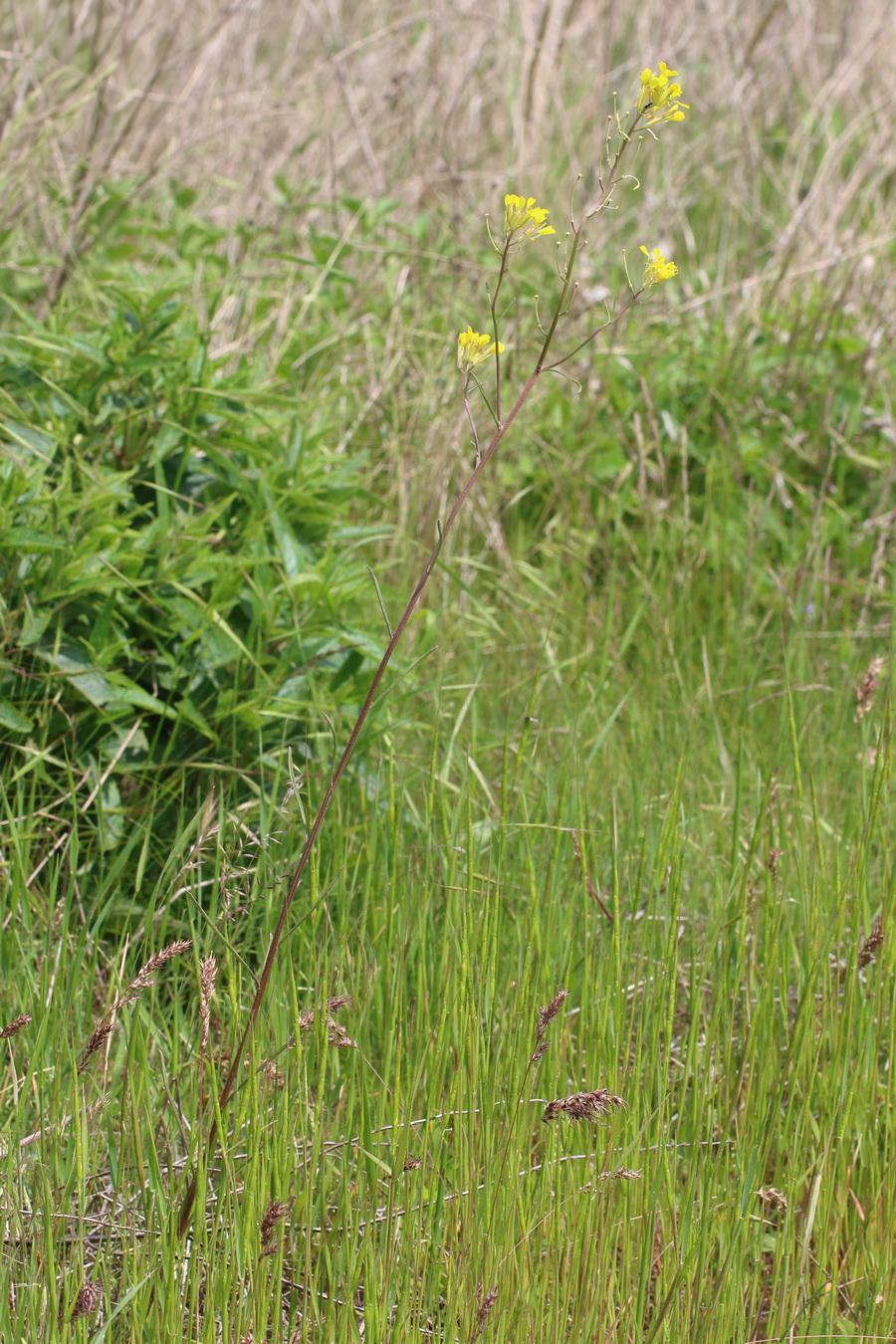 Гулявник изменчивый (Sisymbrium polymorphum)