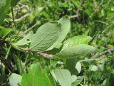 Salix pseudodepressa