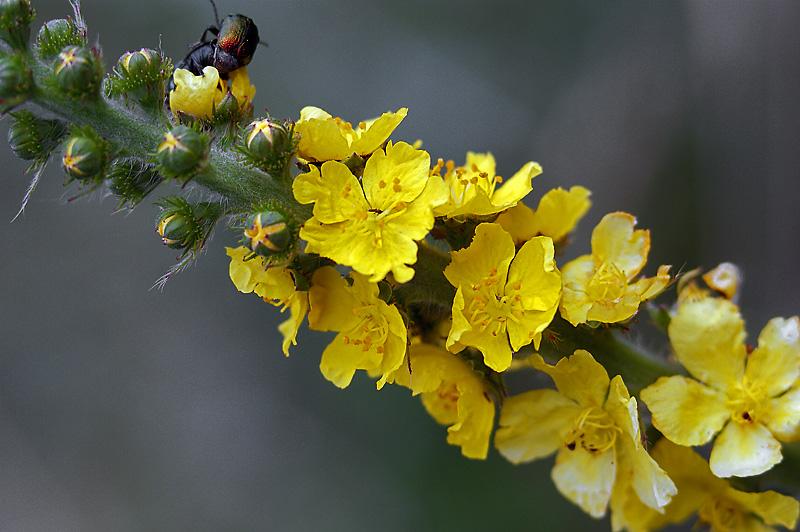 Репешок аптечный (Agrimonia eupatoria). Автор фото: Виталий Гуменюк