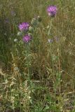 Centaurea apiculata