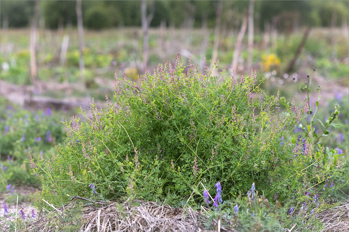 Дымянка лекарственная (Fumaria officinalis). Автор фото: Мария Новикова