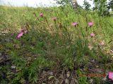 Dianthus pratensis