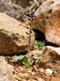 Leopoldia spreitzenhoferi