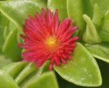 Aptenia × vascosilvae